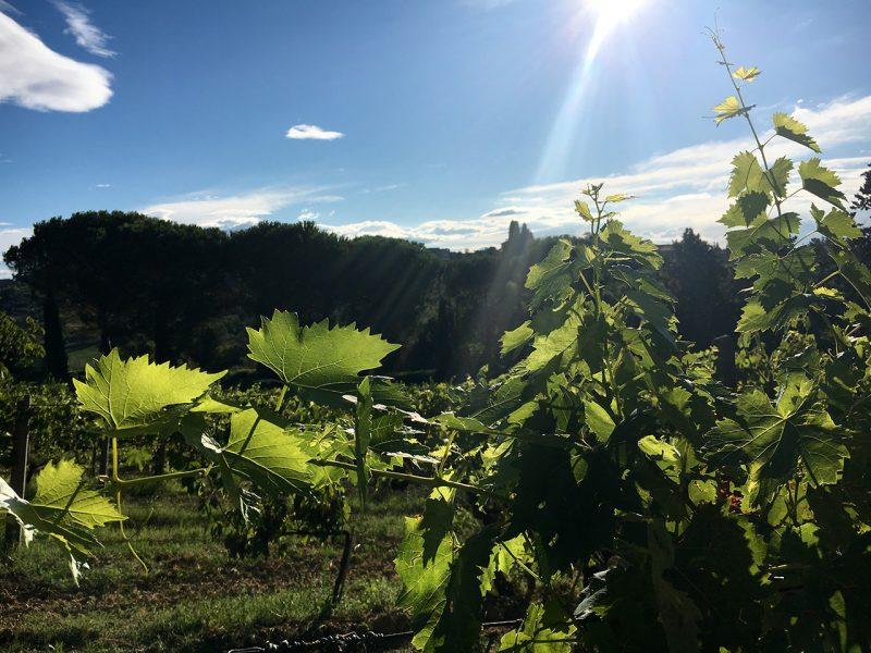 tuscany-wine-grapes